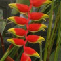 Heliconia_Flower